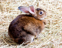 Brown Rabbit Royalty Free Stock Images