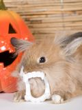 Brown rabbit with vampire teeth Stock Photos