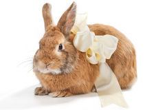Brown rabbit with a beige bow Stock Photos