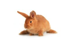Brown rabbit Royalty Free Stock Photography