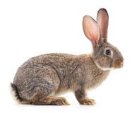 Brown rabbit. Brown rabbit on a white background Royalty Free Stock Image