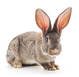 Brown rabbit. Brown rabbit on a white background Stock Photos
