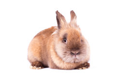 Brown rabbit  on white Royalty Free Stock Photography