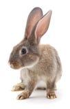 Brown rabbit. Stock Images