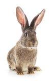 Brown rabbit. Royalty Free Stock Photo