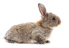 Brown rabbit. Stock Photo