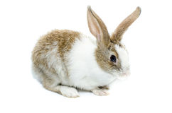 Brown rabbit on a white background Royalty Free Stock Photography