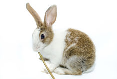 Brown rabbit on a white background Royalty Free Stock Image