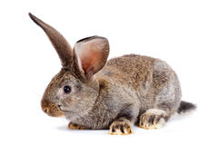 Brown rabbit on white background Stock Images