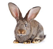 Brown rabbit on white background Royalty Free Stock Photo
