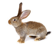 Brown rabbit on white background Stock Photography