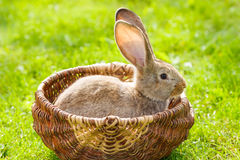 Brown rabbit Stock Photos