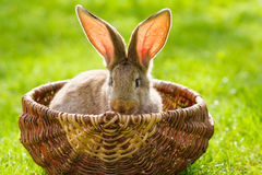Brown rabbit Royalty Free Stock Photo
