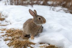 Brown rabbit in winter Royalty Free Stock Photos