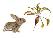 Brown  rabbits Stock Images
