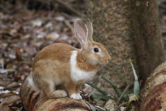 Brown Rabbits are in the wild. Brown Rabbits are in the wild in the dry season Stock Photography