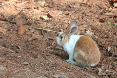 Brown Rabbits are in the wild. Brown Rabbits are in the wild in the dry season Stock Image