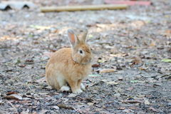 Brown Rabbits are in the wild. Stock Photography