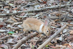 Brown Rabbits are in the wild. Royalty Free Stock Images