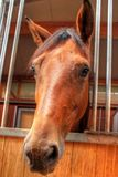Brown race horse head - front view, close-up Royalty Free Stock Images