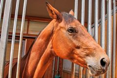 Brown race horse head - profile view, close-up. Wide angle close-up shot of a brown slim thoroughbred race horse in his stable, during an equestrian show Royalty Free Stock Photography