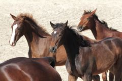Brown race horses Royalty Free Stock Photos