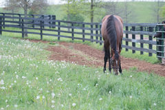 Brown Racehorse. A brown racehorse peaks at us through is fence Stock Photos