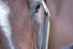 Brown Racehorse. A brown racehorse peaks at us through is fence Stock Image