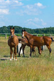 Brown racehorses breeding. Resting horses graze in the meadow Stock Images