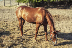 Brown racer horse at stall. At summer time royalty free stock photos