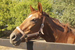 Brown racer horse at stall. At summer time stock image