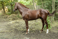 Brown racer horse at stall. At summer time royalty free stock images