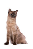 Brown Ragdoll cat Stock Photography