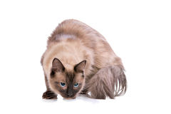 Brown Ragdoll cat Stock Images
