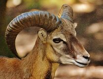 Brown Ram Goat Royalty Free Stock Photo