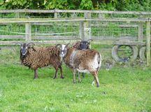Brown rare breed sheep Stock Photos