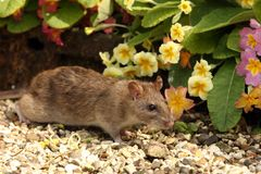 Brown Rat. Close up of a wild Brown Rat Royalty Free Stock Photography