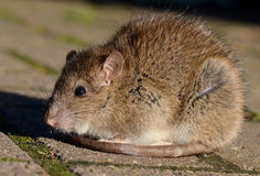 Brown Rat. An adult brown rat (Common sewer rat Stock Photography
