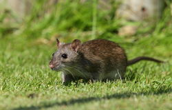 Brown rat. Stock Photos