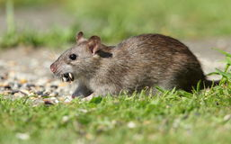 Brown rat. View of a brown rat against a grass background
