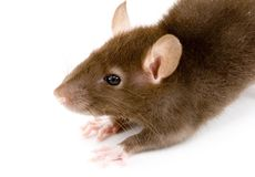 Brown Rat Stock Image