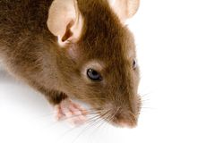 Brown Rat. A close-up photo of a common or brown rat Stock Images