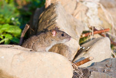 Brown Rat Stock Photo