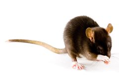 Brown Rat. A close-up photo of a common or brown rat Stock Photography