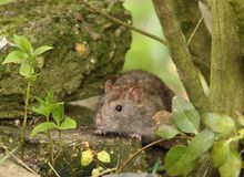 Brown Rat Royalty Free Stock Images