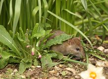 Brown Rat Royalty Free Stock Photo