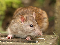 Brown Rat. Portrait of a Brown Rat Stock Images