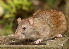 Brown Rat. Portrait of a Brown Rat Stock Images