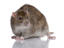 Brown Rat. In front of a white background Royalty Free Stock Photography