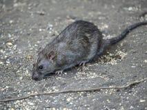 Common brown rat. Brown rat, also referred to as common rat, street rat, sewer rat, Hanover rat, Norway rat, Norwegian rat, or wharf rat,Rattus norvegicus Stock Photo